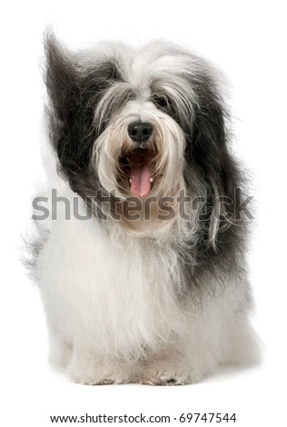 Cute Havanese dog with open mouth. Isolated on a white background