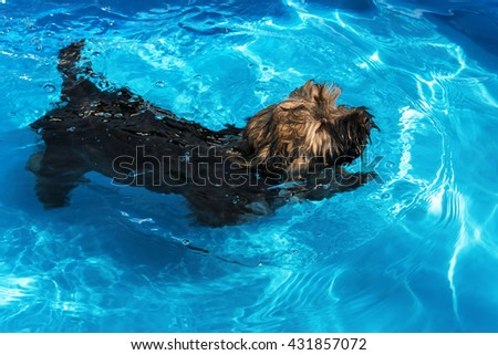 Cute havanese puppy dog is swimming in a blue outdoor pool on a hot summer day - stock photo