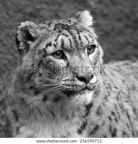Cute head of excellent snow leopard. Adorable big cat, but dangerous raptor. Picturesque monochrome portrait of expressive and mighty animal. Amazing beauty of wildlife in black and white image.