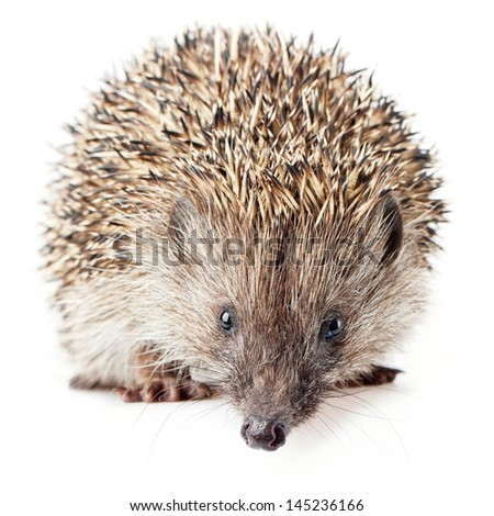 cute hedgehog on a white background. - stock photo