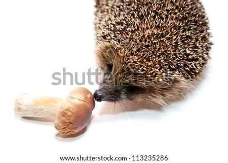 Cute hedgehog smelling mushroom - isolated on white, closeup studio shot - stock photo