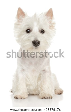 Cute Highland white Terrier westie. Studio portrait