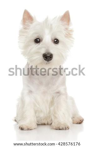 Cute Highland white Terrier westie. Studio portrait - stock photo