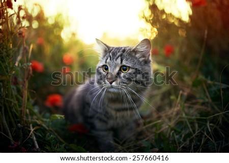 Cute hunting siberian cat in puppy field - stock photo