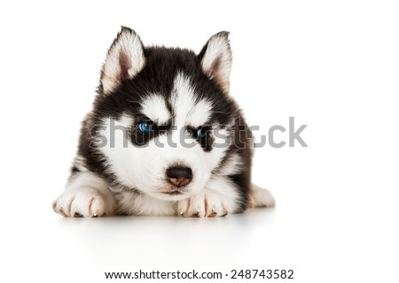 Cute husky puppy - stock photo