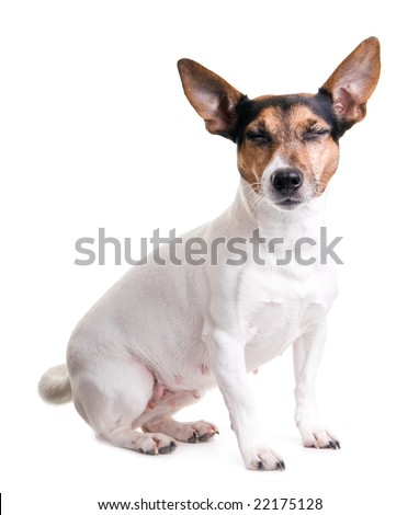 cute jack russel terrier on a white background