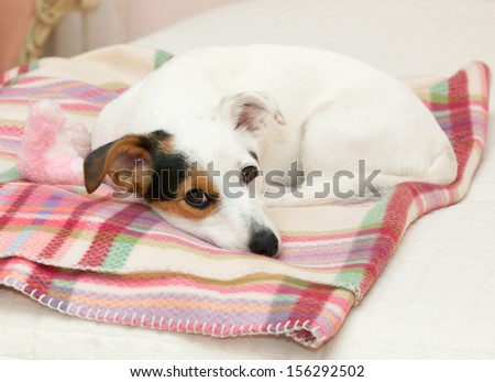 Cute Jack Russell on the pink blanket on the bed - stock photo