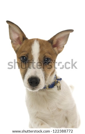 Cute Jack Russell Terrier dog wearing a blue collar looking at the camera isolated on a white background