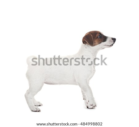 Cute Jack Russell terrier, isolated on white