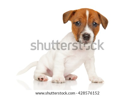 Cute Jack Russell Terrier puppy sits on white background - stock photo