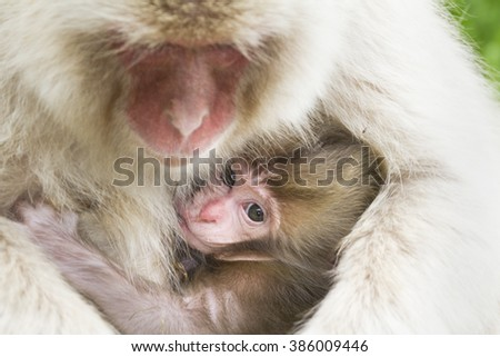 Cute Japanese macaque baby and mother, Jigokudani, Nagano, Japan