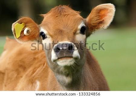 Cute Jersey calf, Westland, New Zealand - stock photo