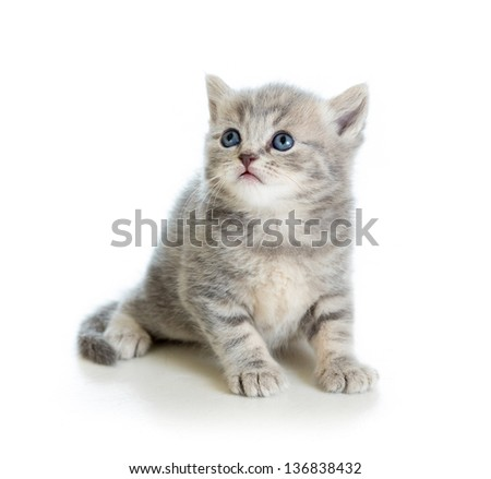 cute kitten cat Scottish