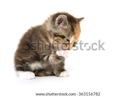 Cute kitten cleaning one of its paws while isolated on white background