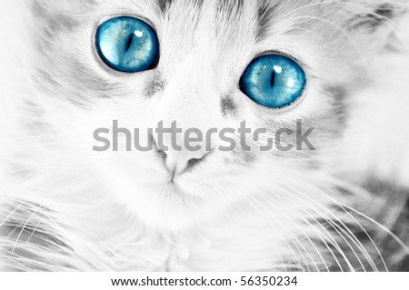 cute kitten in black and white with blue eyes - stock photo