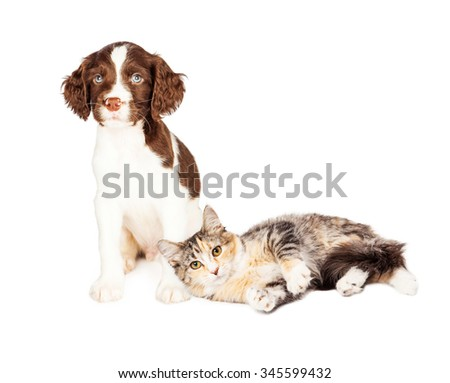 Cute kitten laying next to a young Springer Spaniel puppy - stock photo
