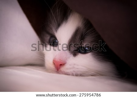 Cute kitten under the pillow - stock photo