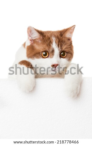 Cute kitten with blank billboard.  Lovely British Shorthair kitten - stock photo