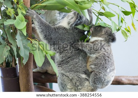 cute koala bear with young joey baby koala eating green fresh eucalyptus and resting in featherdale wildlife park in new south wales close to sydney in australia - stock photo