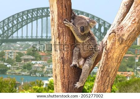 Cute Koala in Sydney, Australia - stock photo