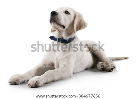 Cute Labrador dog on grey background - stock photo