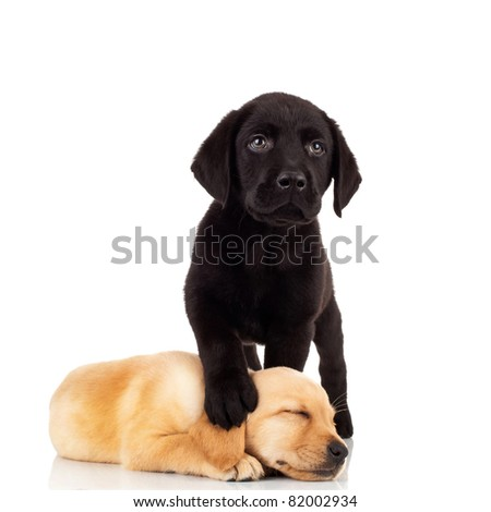 cute labrador puppies - black labrador stepping on its little sister's head while sleeping - stock photo