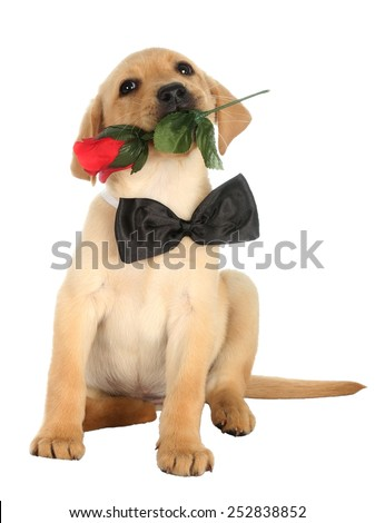 Cute Labrador puppy with a rose and black bow tie - stock photo