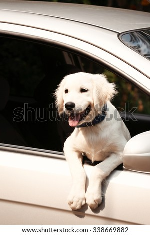 Cute Labrador retriever dog in car
