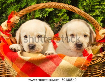 Cute labrador retriever puppies in a picnic basket, shallow dof - stock photo