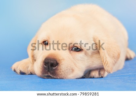 Cute labrador retriever puppy, one month old