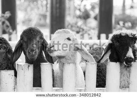 cute lamb behind a fence - stock photo