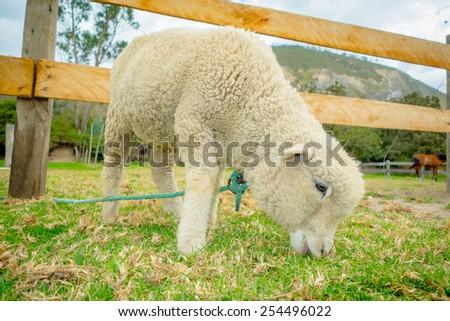 cute lamb eating grass in a farm - stock photo