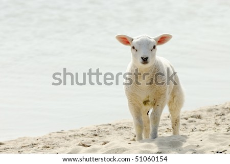 Cute lamb on the beach in spring, Friesland The Netherlands - stock photo