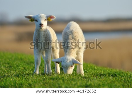 cute lambs in spring, The Netherlands - stock photo