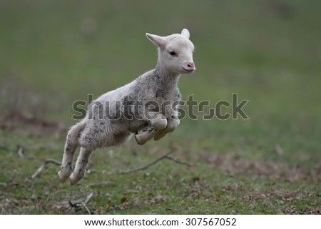 cute lambs on field in spring - stock photo