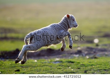 cute lambs running on field in spring - stock photo