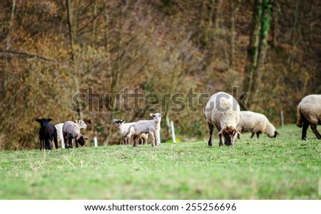 Cute lambs with adult sheeps in the winter field of grass