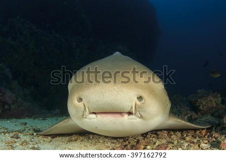 Cute Leopard Shark smiling face portrait - stock photo