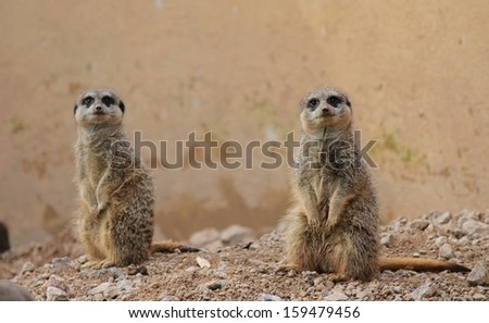 cute light brown Meercat at London zoo with small head little eyes and ears - stock photo