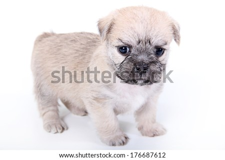 cute light brown puppy on white background - stock photo