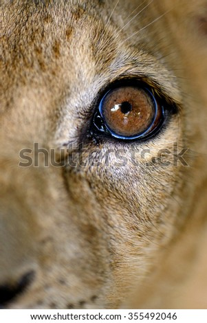 Cute lion cub head focus at eye