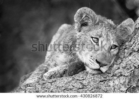 cute lion cub in black and white - stock photo