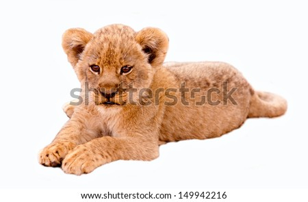 Cute lion cub isolated in white - stock photo
