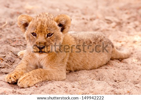Cute lion cub sitting in the sand - stock photo