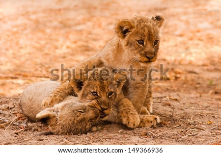 Cute Lion Cubs Playing in the Sand - stock photo