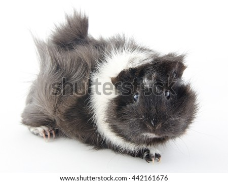 Cute little Abyssinian guinea pig (isolated on white), selective focus on the eyes