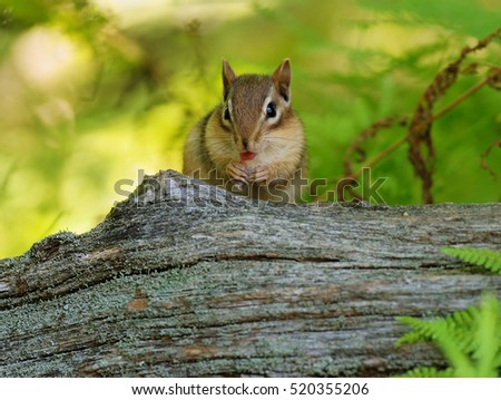 Cute little baby chipmunk grooming, with his tongue sticking out