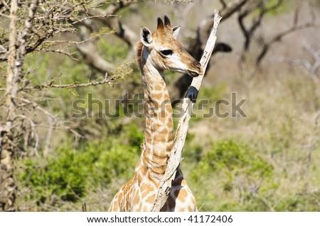 Cute Little Baby Giraffe - stock photo