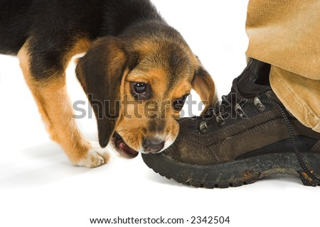 Cute little beagle puppy dog chewing on a walking shoe or boot - stock photo