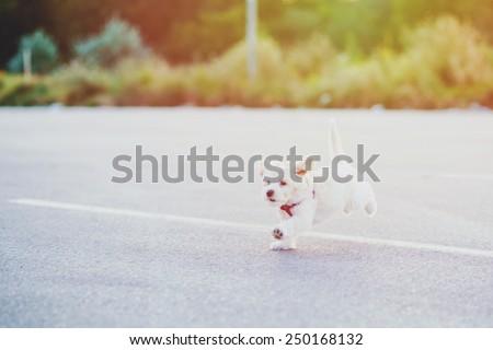Cute little bichon enjoy outdoor - stock photo